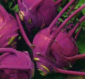 Kohl Rabi Purple Delicacy - Seeds