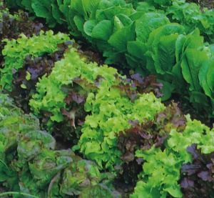 Lettuce Mixed - Seeds
