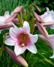 Lilium Pink Perfection- Pack of 5 Bulbs