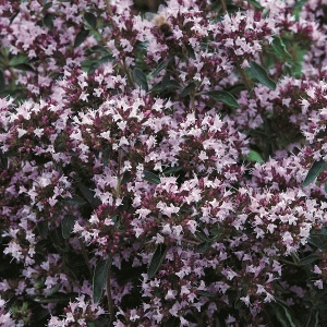Marjoram Pot - Seeds