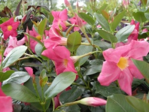 Mandevilla sanderi Light Pink Form