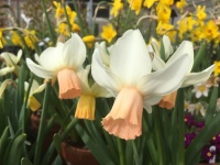 50x Narcissus  'Cotinga'