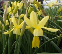 Narcissus 'Hawera' - 5 potted bulbs