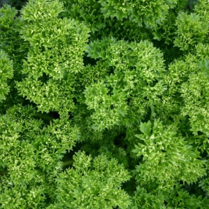 Parsley Curled- Seeds
