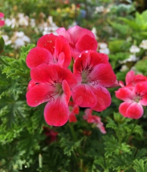 Pelargonium 'Paton's Unique'