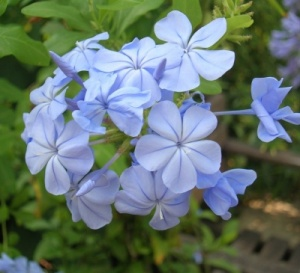 Plumbago auriculata 'Crystal Waters'
