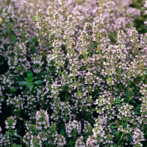 Thyme - Seeds