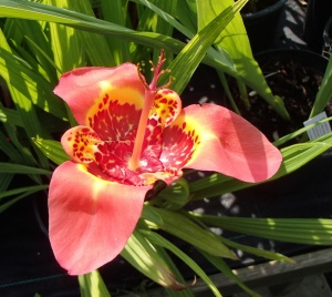 Tigridia pavonia- Pack of 20 Bulbs